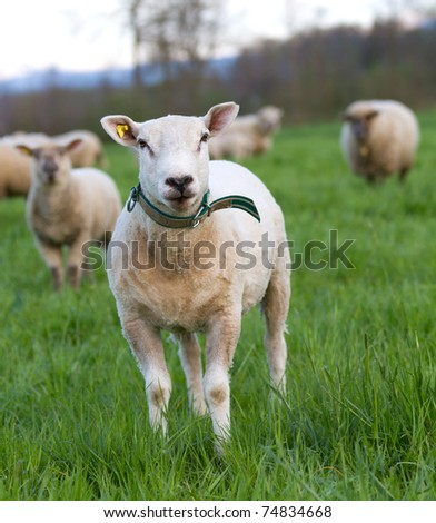young sheared sheep in herd on meadow looking into camera - stock photo