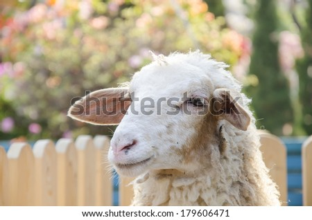 Young sheep in the farm