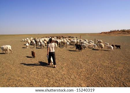 Young shepherd herding sheep and goats in the Gobi Desert, Mongolia - stock photo