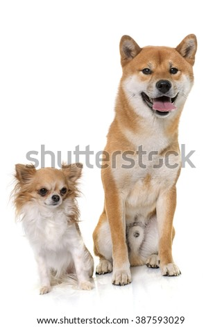 young shiba inu and chihuahua in front of white background