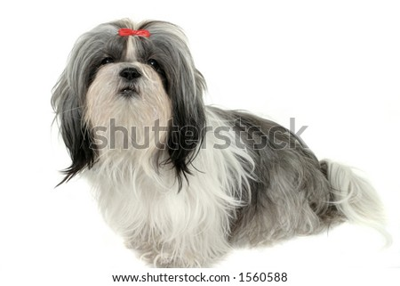 Young Shih Tzu puppy dog. Shot isolated on white. - stock photo