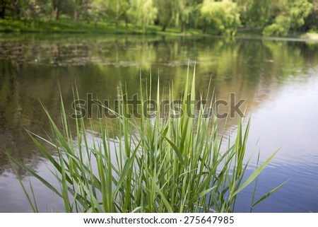 Young shoots of bulrush.  Close up on a background of lake. - stock photo