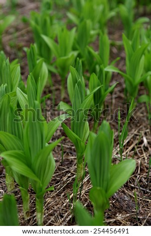 young shoots of grass in the meadow - stock photo