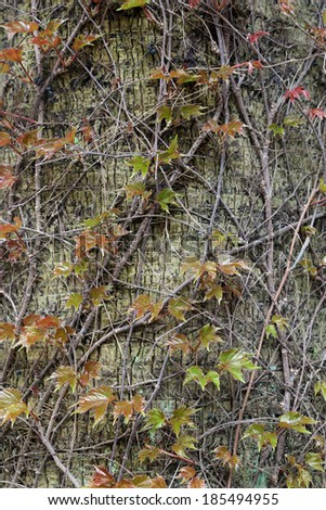 Young shoots of Parthenocissus (wild grapes, boston ivy) on tree trunk - stock photo
