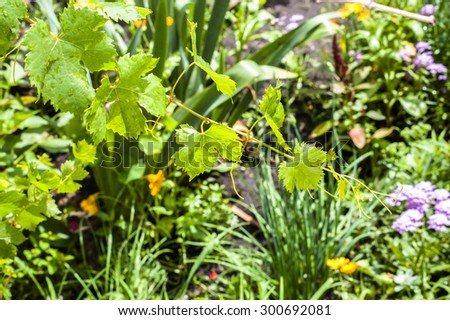 Young shoots of vine with leaves wet from rain drops isolated on blurred green background of garden - stock photo