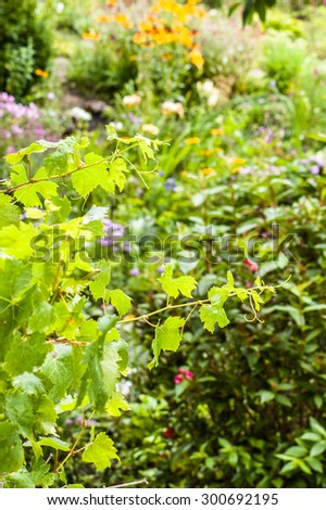 Young shoots of vine with leaves wet from rain drops isolated on blurred green background of garden. - stock photo