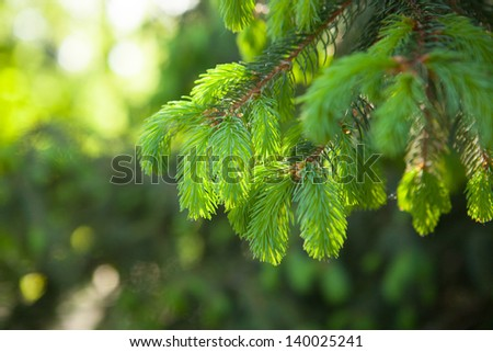 young shoots on the branches of spruce - stock photo