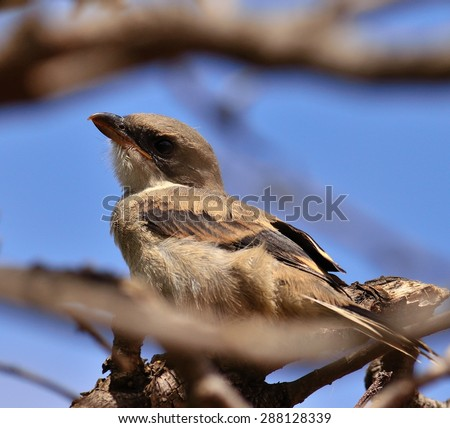 Young shrike looking attentively among branches - stock photo