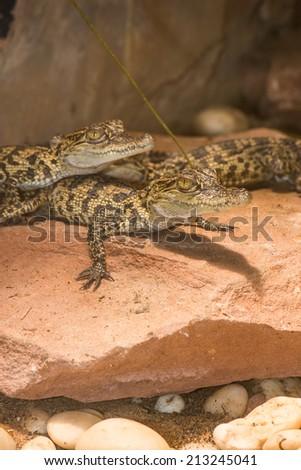 Young Siamese Crocodile on Rock, Thailand - stock photo
