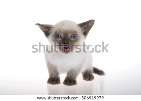Young siamese kitten with munchkin characteristics, smaller than average, isolated on a white background. sitting, with blue eyes looking at viewer