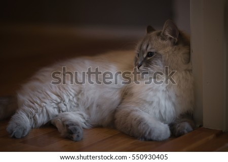 Young siberian cat is relaxing, laying on the wooden floor