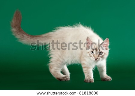 Young siberian kitten on dark green background - stock photo