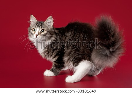 Young siberian kitten on dark red background - stock photo