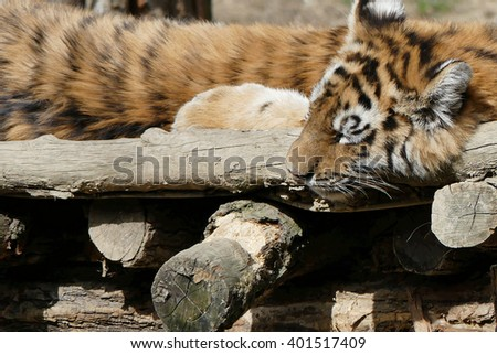 young siberian tiger - stock photo