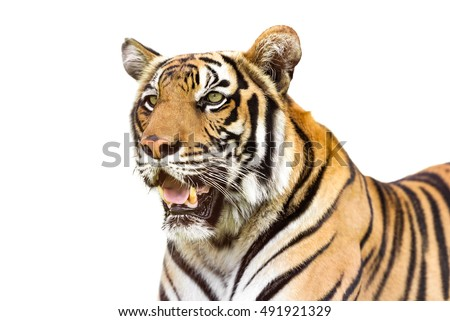 Young siberian tiger isolated on white background
