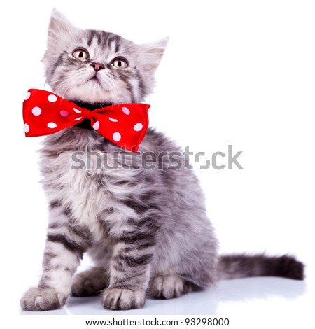 young silver tabby cat looking up, wearing a red ribbon on white background - stock photo