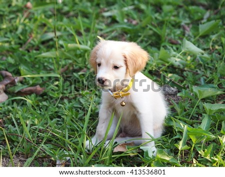 young small cute lovely mini size crossbreed puppy dog from two or more toys purebred white pastel beige colour long fur and ears black eyes sitting on green grass floor outdoor - stock photo