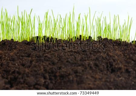 young small green grass on humus soil, macro - stock photo