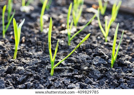 Young small green sprouts on an empty bare ground - stock photo