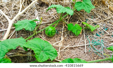 young small watermelon in the garden - stock photo