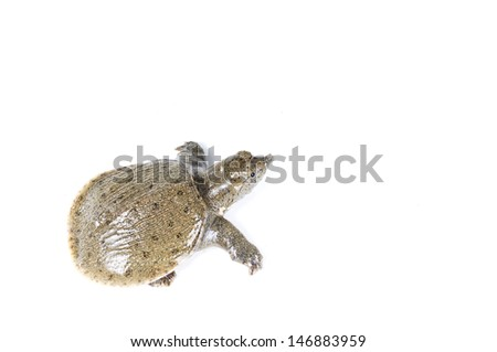 Young  Snapping turtle - stock photo