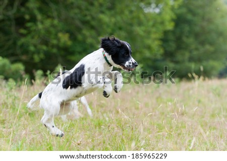 young spaniel puppies in a summertime meadow