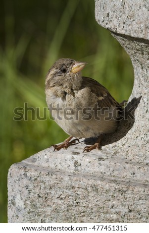 young sparrow on a wall