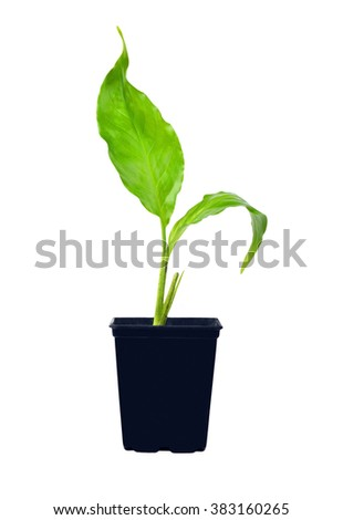 Young spathiphyllum plant, isolated on white background