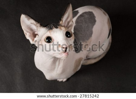 Young sphinx cat is over gray background - stock photo