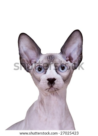 Young Sphinx cat isolated - stock photo