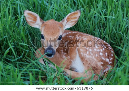 Young spotted fawn - stock photo