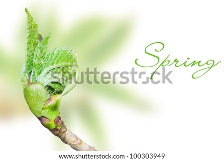 Young spring leaf