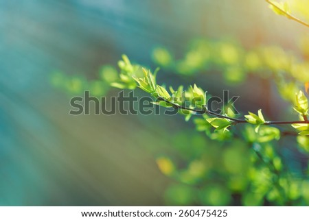 Young spring leaves lit by sunlight - stock photo