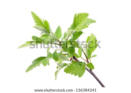 Young spring leaves on the branch isolated on a white background