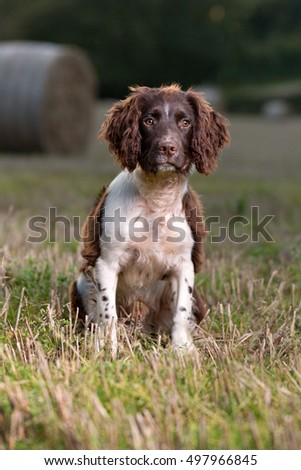 Young Springer Spaniel dog sitting a a field
