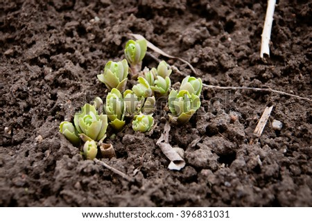 Young sprout in the ground in springtime,Closeup - stock photo