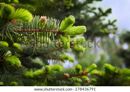 young sprout of spruce, natural forest background - stock photo