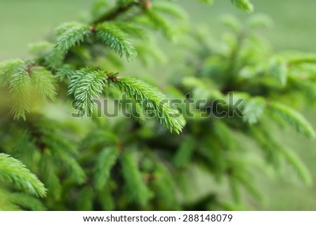 Young sprout of spruce with green tip in forest