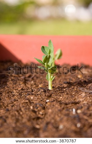 Young sprouting bean seedling in a planter box