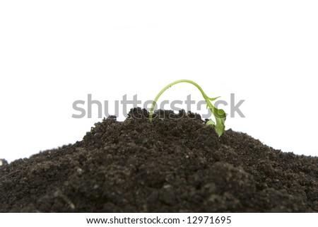 young sprouting plant getting dried out - stock photo