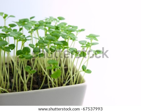 young sprouts in morning light - stock photo