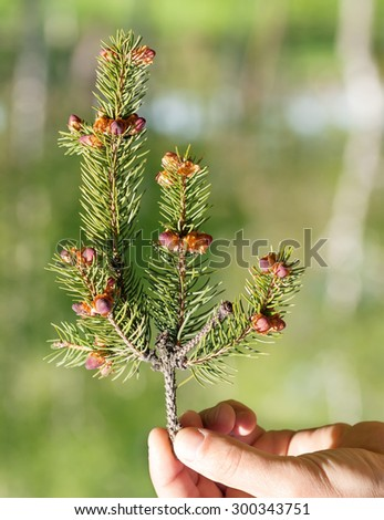 young spruce branch holding the man - stock photo