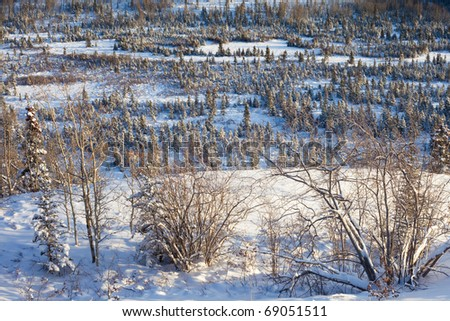 Young spruce trees in snowy boreal forest: where  Santa Claus gets his Christmas trees. - stock photo