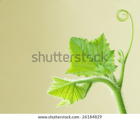 Young squash leaves on vine for isolated on yellow background