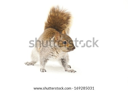 young squirrel on white background  - stock photo