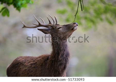 Young stag deer feeding in Richmond Park, England - stock photo