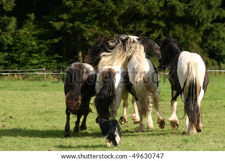 "young stallion in the field rounded up by border collie, horse, pony, ""Border Collie"", ""Irish Cob"" , ""Irish Tinker"" Tinker, paint , coloured - stock photo"