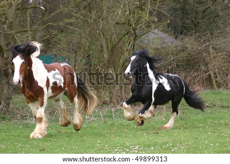 young stallions chasing each other - stock photo