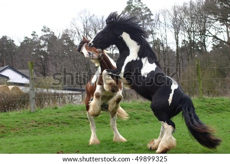 young stallions - harmless fight - stock photo