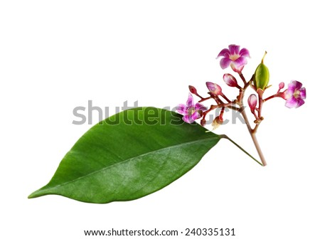 Young star fruit (Averrhoa carambola) with flower and leaf - stock photo